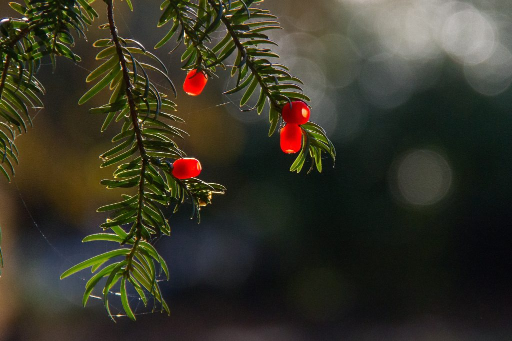 red round fruits on green tree